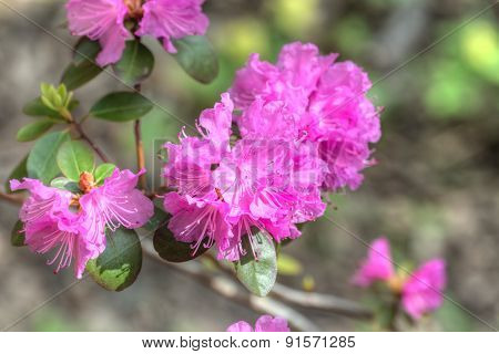Pink Rhododendron Closeup