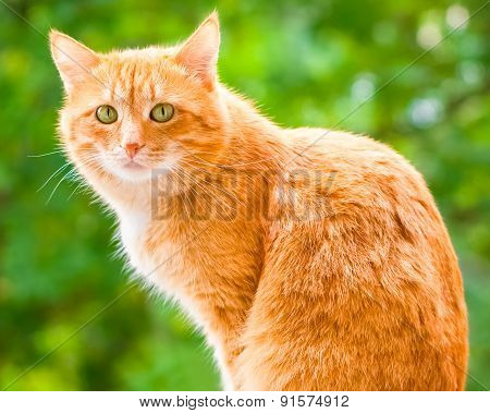 Ginger Shorthair Cat With Sad Green Eyes Sitting And Looking At Camera In Sunny Garden At Summer Day