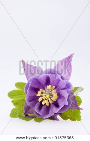Single Violet  Flower Of Aquilegia Vulgaris On White Background