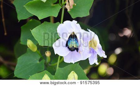 Jewel beetle feeding for nectar
