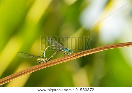 two dragonflies on a branch on a green background