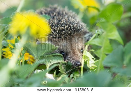 Curious hedgehog in the grass
