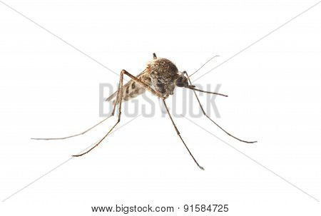 Macro Of Mosquito Isolated On White