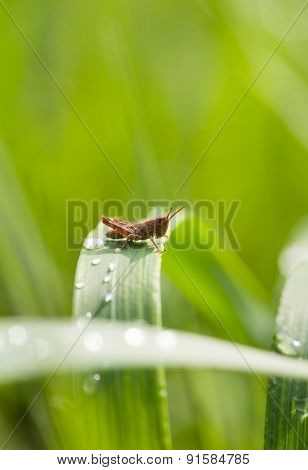 Grasshopper On Grass Blade