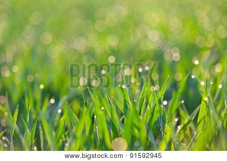 Fresh Grass with drops of dew in light -  green ecology background, focus on the front