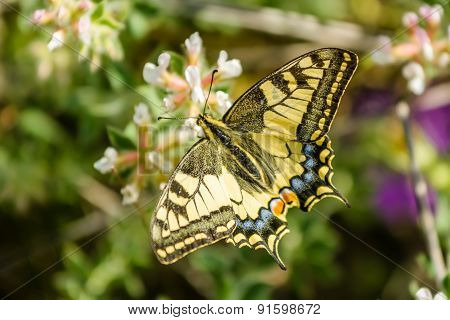 Papilio Machaon - Swallowtail