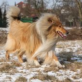 pic of scotch  - Beautiful Scotch collie running on snow in winter - JPG