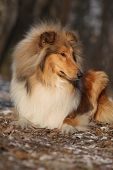 pic of collie  - Amazing scotch collie lying in winter forest - JPG