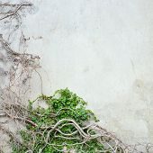 picture of ivy vine  - abstract vine pattern growing on concrete wall - JPG