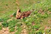 stock photo of marmot  - Marmot near the burrow - JPG