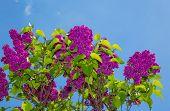 image of lilac bush  - lilac bush against the blue sky - JPG