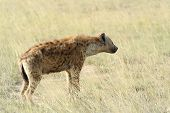 stock photo of spotted dog  - Spotted Hyena  - JPG