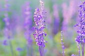 picture of salvia  - Blue Salvia farinacea flowers blooming in the garden - JPG
