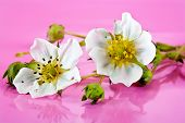 stock photo of strawberry plant  - Flowers of plant of strawberry close - JPG