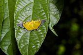 foto of moth  - Yellow Celerena signata moth hanging under leaf - JPG