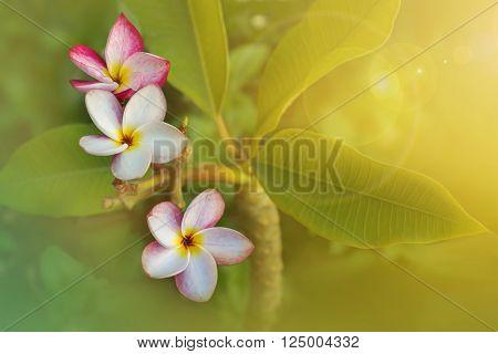 Beautiful Sweet Pink White Flower Plumeria Or Frangipani Bunch