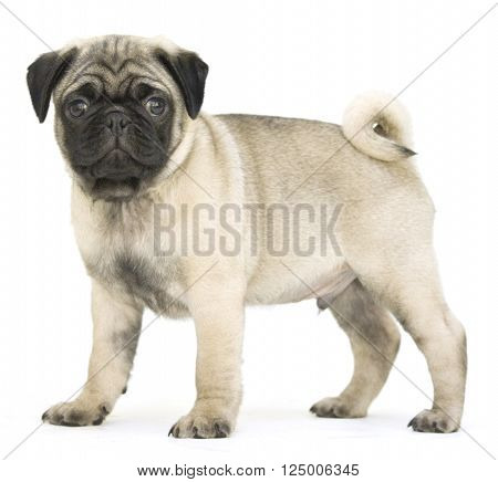 Fawn pug puppy dog isolated on white background.