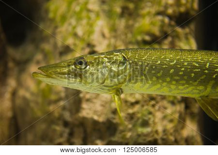 Underwater photo of a big Pike or Esox Lucius in the river bed