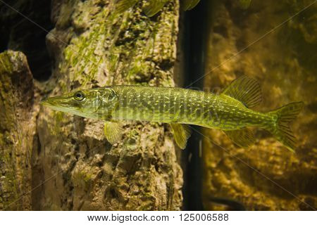 Underwater photo of a big Pike (Esox Lucius)