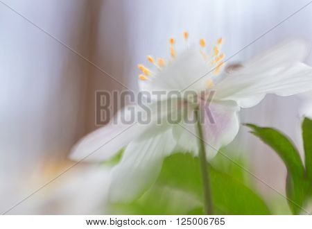 Wood anemone, wild spring flowers. A white flower carpet is covering the forest floor. Anemone nemorosa a beautiful wildflower