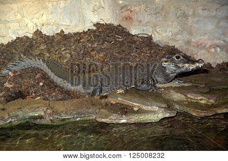 West African dwarf crocodile guarding her nest.