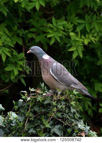 Wood pigeon perched on ivy wound fence post.