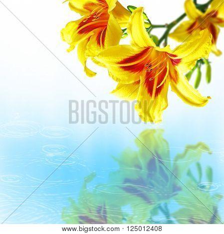 Hemerocallis flowers over the water with drops