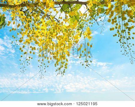 Golden shower flowers (Cassia fistula) over blue sky background