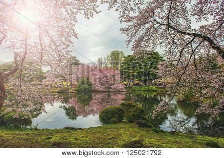 Shinjuku Gyoen Park, Tokyo, Japan in the spring cherry blossom season.