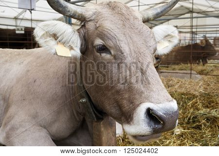 Close-up of a cow in a cattle fair.
