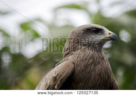 this is a close up of a whistling kite