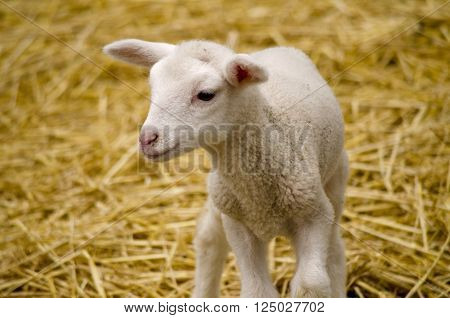 the baby lamb is unsteady on its feet