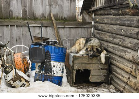 A dog on a chain lying on kennel in the yard of a private house