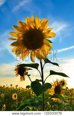 a large field with a blossoming sunflower . bumblebees fly and pollinate the flowers . The sky is blue. Summer is in full swing