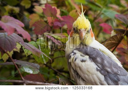 Beautiful cockatiel on a colorful tree looking directly at you.