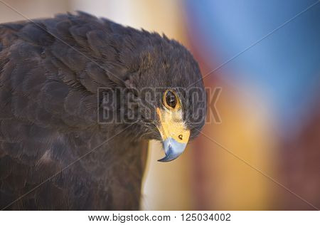Harris Hawk or Parabuteo unicinctus a medium-large bird of prey which breeds from the southwestern United States south to Chile and central Argentina.