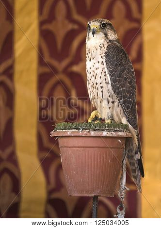 It is a falcon with a wingspan of 95-105 cm. European Lanner Falcons Falco biarmicus feldeggi also called Feldegg's Falcon have slate grey or brown-grey upperparts.