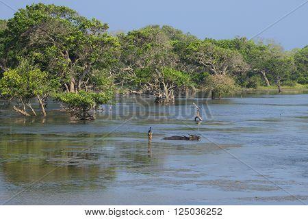 Wild Asiatic buffalo lying in a shallow lake in the national park Yala, Sri Lanka