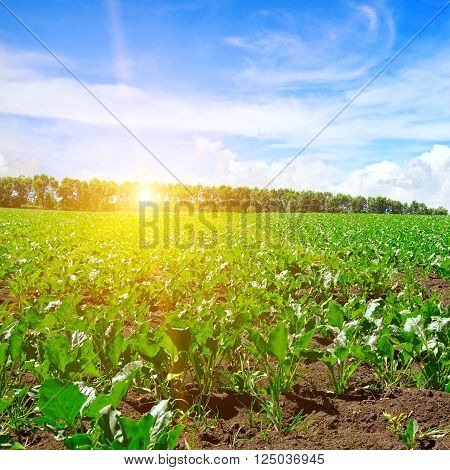 A green beet field and blue sky
