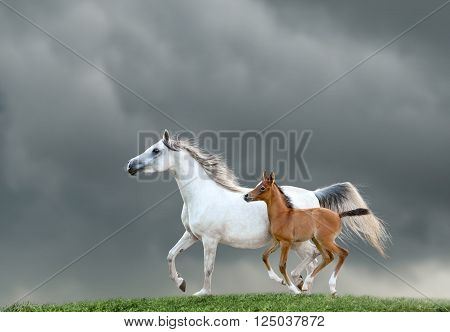The mare and foal on a green hill runs free