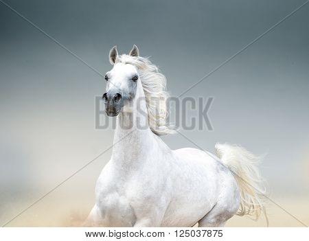 The white arabian horse stallion portrait closeup
