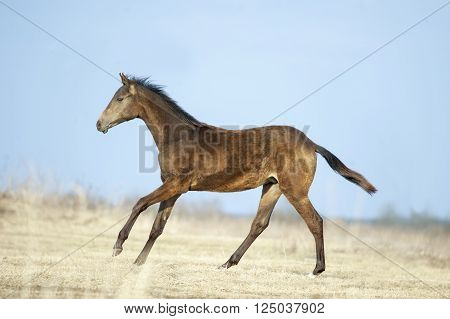 young akhal-teke colt runs free over an early spring field
