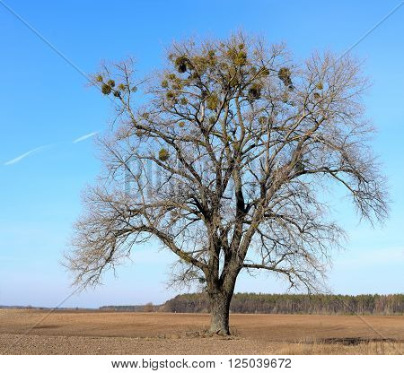 Bare tree without leaves on a sown field