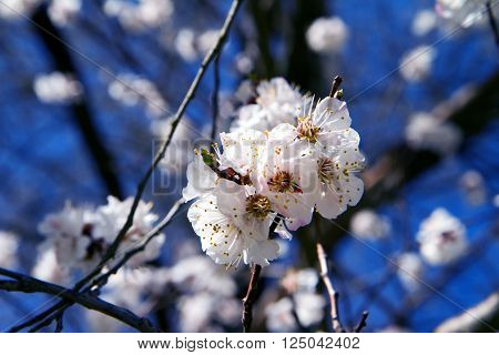 Seasons blossom flowering fruit trees in spring.