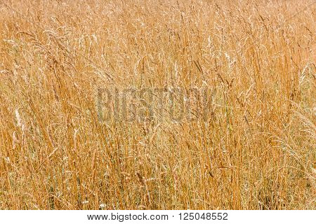 Natural bright agriculture background - yellow cereal grass under bright sunlight growing in a farm field closeup