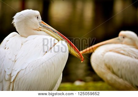Detail of great white pelican (Pelecanus onocrotalus). Head of two pelicans with long beaks resting on the grass bank of lake.