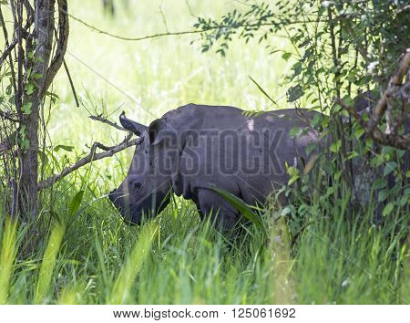 Small rhinoceros at Ziwa Rhino Sanctuary in Uganda, Africa
