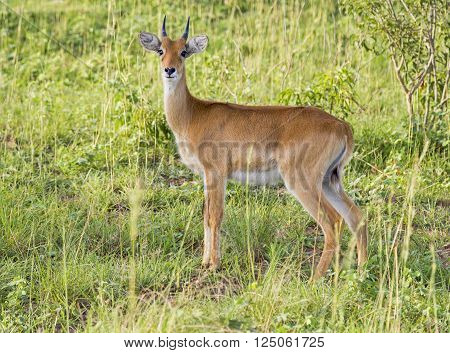 Young impala at the Murchison Falls National Park in Uganda, Africa