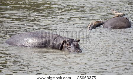 Hippopotamus in the Nile river at the Murchison Falls National Park in Uganda, Africa