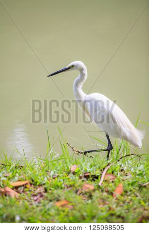 Animals in Wildlife. Side view of white egret walking on the waterfront long neck bird. Outdoors.